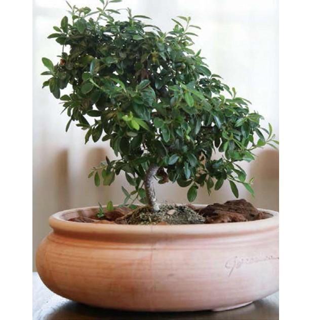Pot bonsaï